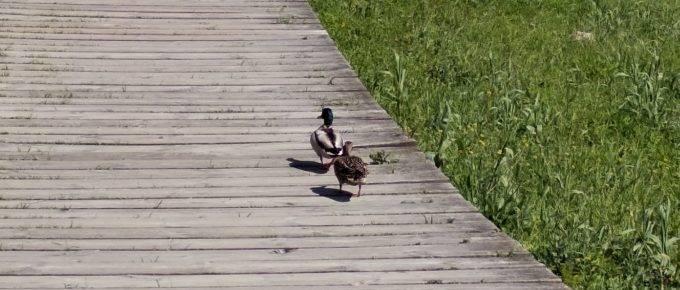 patos-caminando-paseo-madera